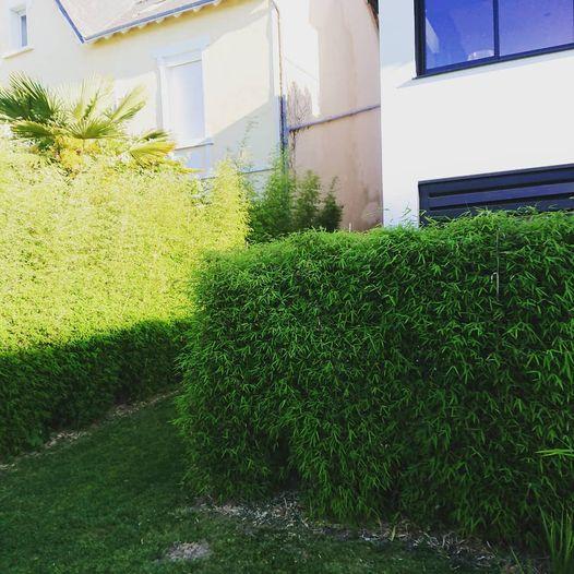 Fargesia angustissima#bambous non traçant#haie tai…