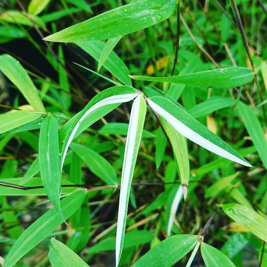 Fargesia angustissima (panaché)# malheureusement l…