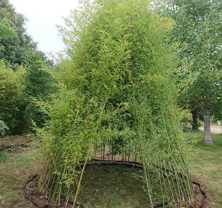 Tipi en bambous, phyllostachy aurea
