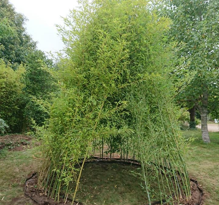 Tipi en bambous. Phyllostachys aurea