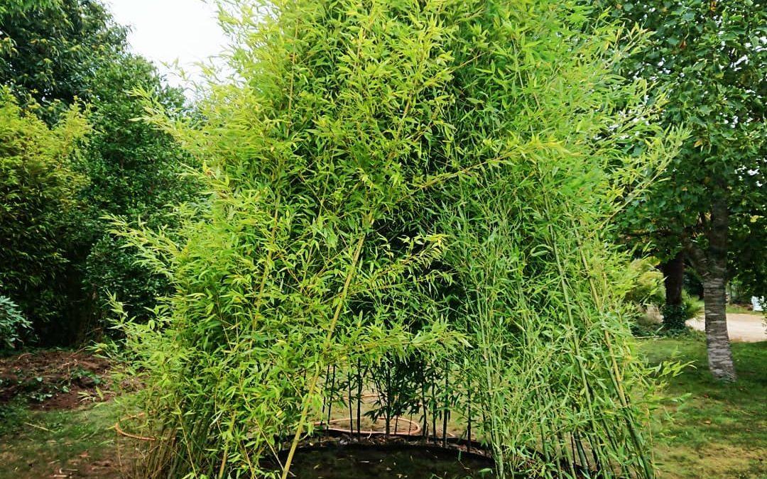 Tipi#bambous #phyllostachys#aurea#concarneau#breiz…